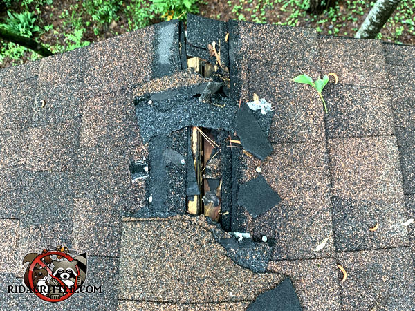 Raccoons tore away at about a foot of shingles and sheathing on the very peak of the roof of a house in Atlanta Georgia.