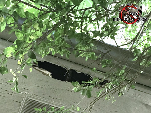 Raccoons tore a hole about a foot wide and three inches deep in the edge of the plywood soffit panel of a house in Columbus Georgia.