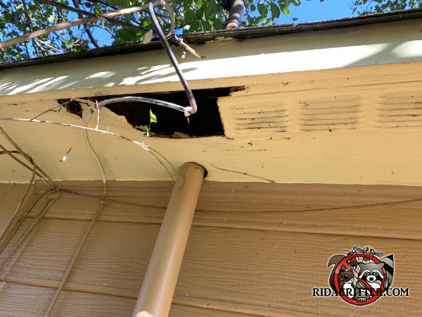 Raccoons tore a large hole through the soffit panel of a house in Decatur Georgia