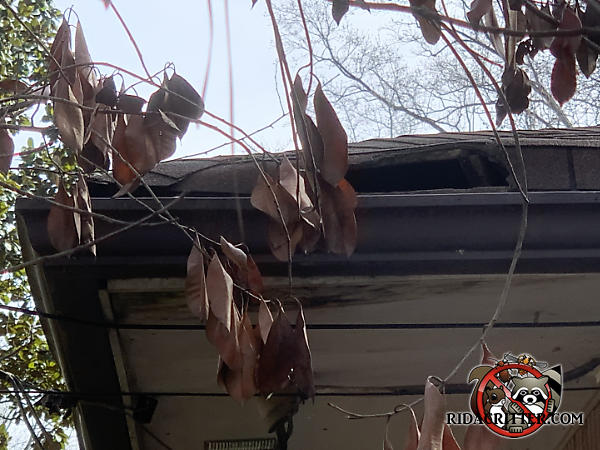 Raccoons tore the shingles off the edge of the roof of a house in Doraville Georgia
