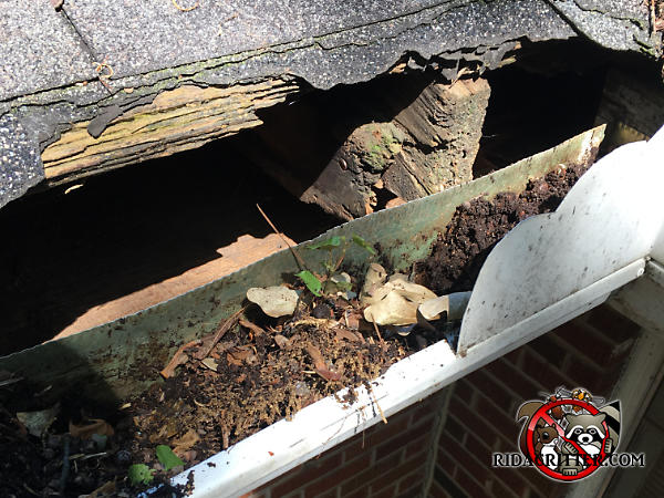 Raccoons tore a hole of about three foot by ten inches along the edge of the roof of a house in Dunwoody Georgia