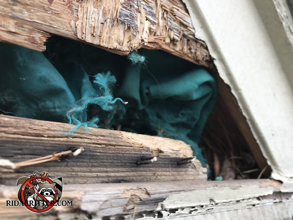 Raccoons tore a hole through the wooden siding and sheathing near the lower right corner of the roof of a house in Bogart Georgia.