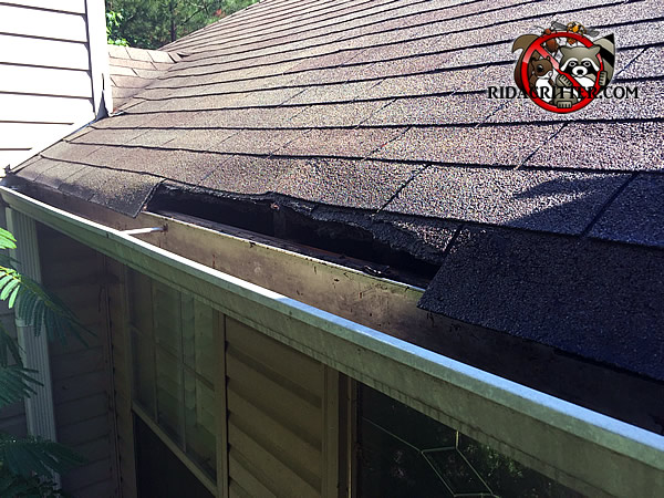 Raccoons tore several feet of shingles off the edge of the roof of a house in Marietta Georgia