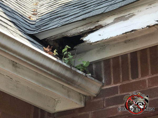 The front and bottom of the soffit have a big hole in them from a raccoon