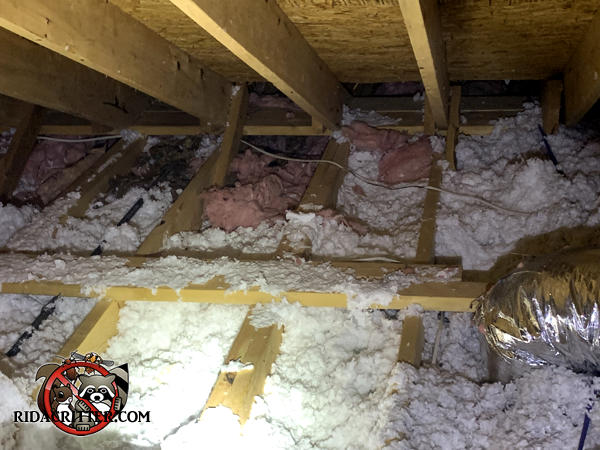 The insulation is disturbed and there are raccoon droppings in the attic of a house in Atlanta