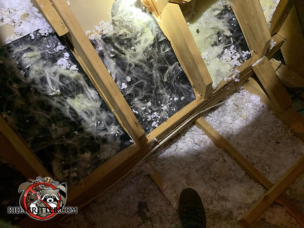 Raccoons tore the insulation from between the studs and flattened the insulation between the joists in the attic of a house in Buford Georgia.