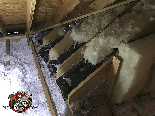 Raccoons partially tore the insulation from between the rafters in the attic of a house