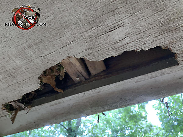 Raccoons tore an irregular hole about three feet long by about eight inches deep at its widest point through the plywood soffit panel of a house in Kennesaw Georgia