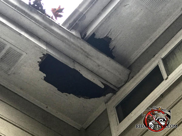Raccoons made two holes in the soffit panel at a junction point of a house in Lawrenceville Georgia