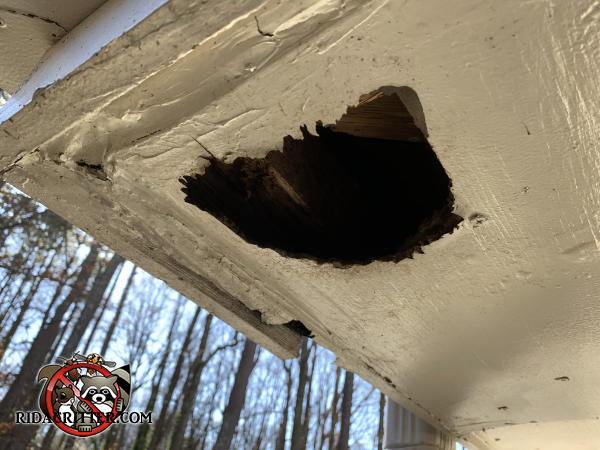 Trapezoidal raccoon hole in the water damaged soffit panel of a house in Marietta Georgia