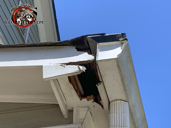 Raccoon tore up the corner of the soffit of a house in Powder Springs Georgia