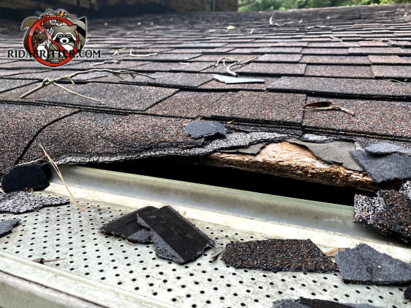 Raccoons tore the shingles off the edge of the roof of a house in Atlanta. The damage will be repaired by an Atlanta raccoon removal technician.