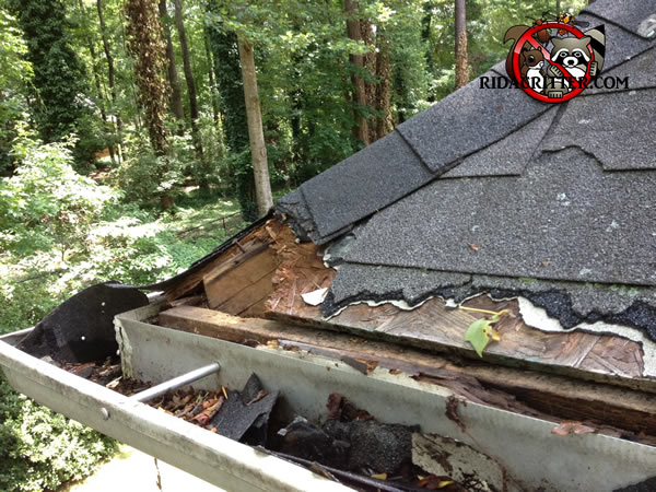 Raccoon Removal and Exclusion | Augusta, Georgia Area