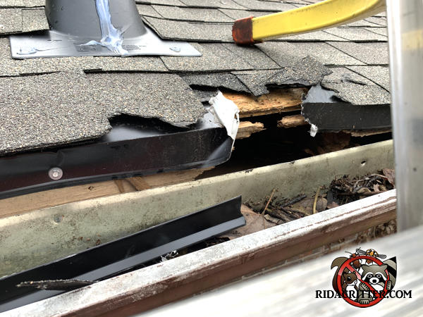 Raccoons damaged a home by tearing off the shingles and gnawing the wooden fascia of a house in Roswell Georgia