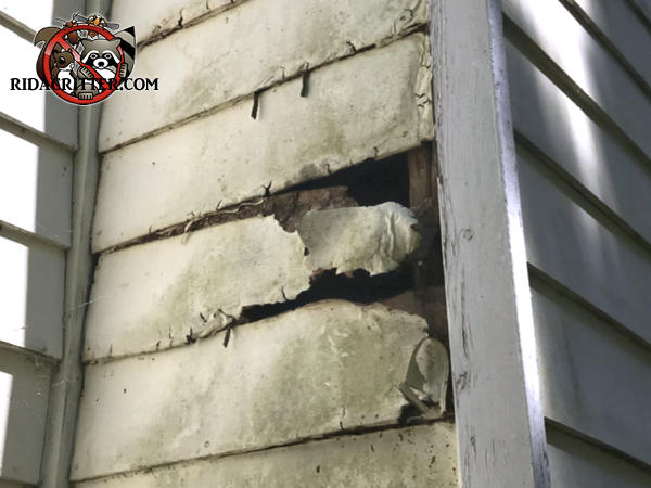 Several rows of siding on the corner of the house have been partially torn off the house by a raccoon