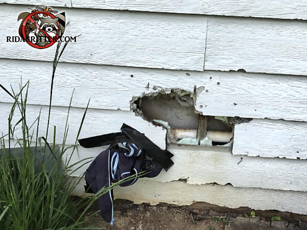 Racoon tore a hole of about ten inches through the siding of a house in Dawsonville Georgia