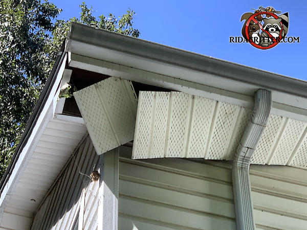 The soffit panel is collapsed in the corner and for several feet back from the corner due to the weight of raccoons running on top of it.