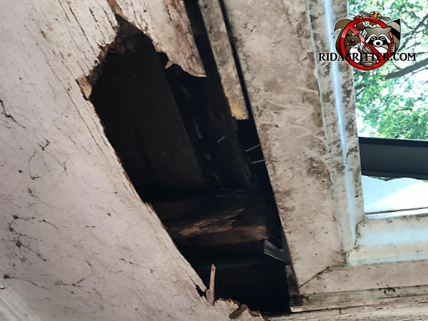 Raccoons tore a hole about 10 inches wide by three feet through the plywood soffit panel of a house in East Brainerd Tennessee