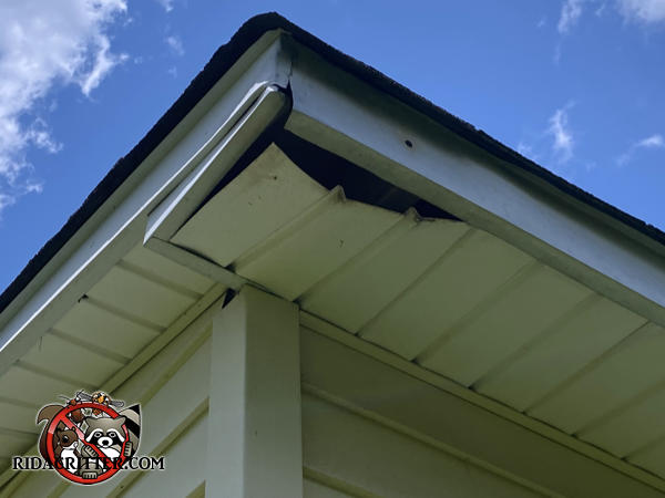 The end section of the soffit panel of a house in Marietta Georgia is bowed and hanging down a few inches because of raccoons walking on top of it.