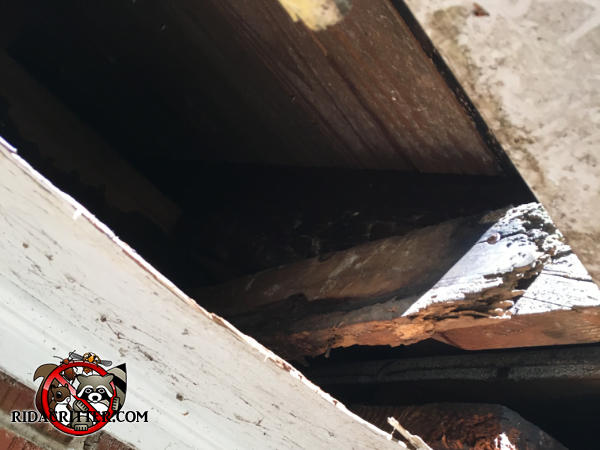 The soffit panel is missing from a house in Stone Mountain Georgia because raccoons completely tore it off the soffit