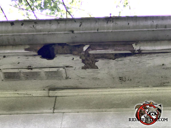 Raccoons tore holes through the soffit panel and fascia at a house in Stone Mountain