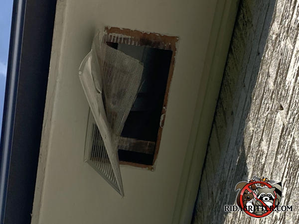 The soffit vent and screen are hanging from the soffit panel of a house in Atlanta because a raccoon either pulled them down or fell through them.