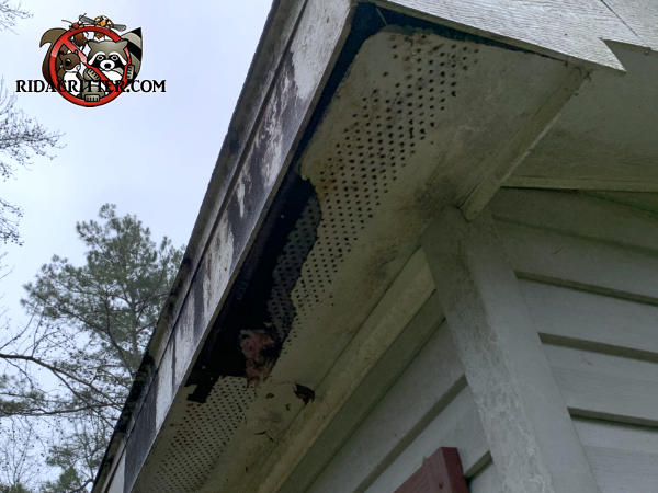 Approximately ten inch by three foot irregular hole that a raccoon tore into the worn wooden soffit panel of a house in Winston Georgia
