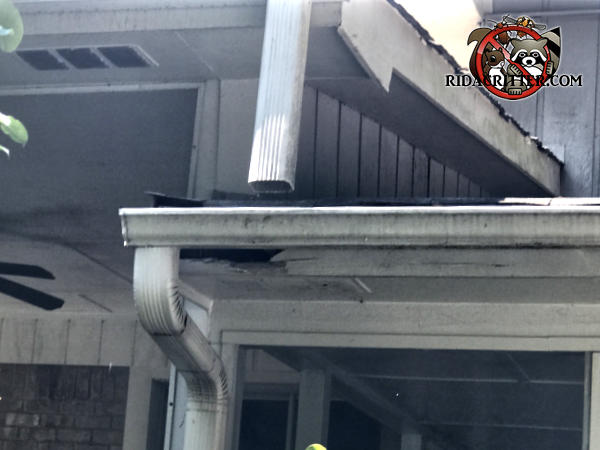 Raccoon tore a hole through the soffit panel to get into a house in Chattanooga Tennessee