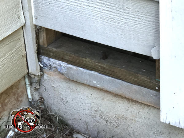 The bottom course of siding is missing exposing a gap through which a young raccoon got into a house in Chattanooga Tennessee