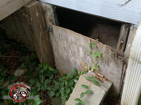 Eight inch gap at the top of a rotting plywood crawl space access door allowed raccoons to get into the crawl space of a house in Stone Mountain Georgia.