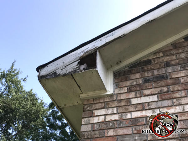 Raccoons gnawed and tore at the end of the soffit to make a hole to get into a house in Newnan Georgia