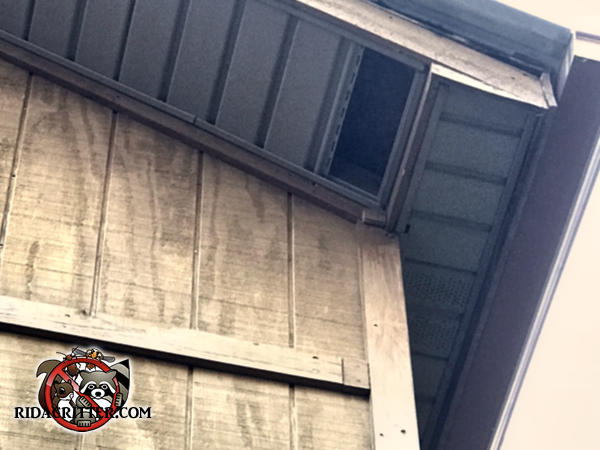 There is a section of metal soffit panel missing from the soffit that allowed the raccoons to get in