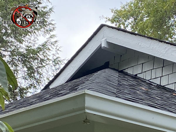 Raccoons tore the cedar shakes off the wall over the porch roof to get into a house in Gainesville Georgia.