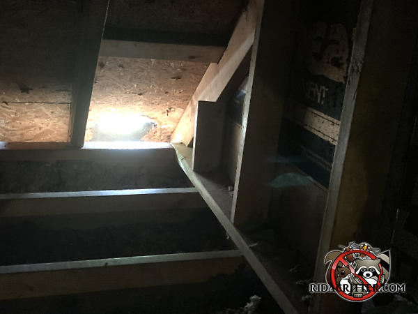 Raccoon tore a hole about a foot wide in the roof sheathing of a house in Kennesaw Georgia