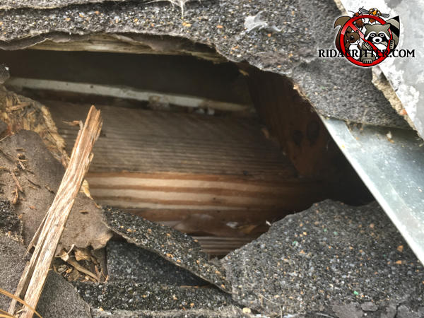 Raccoons tore the shingles and sheathing off the roof of a house in Roswell and made a hole about eight inches wide