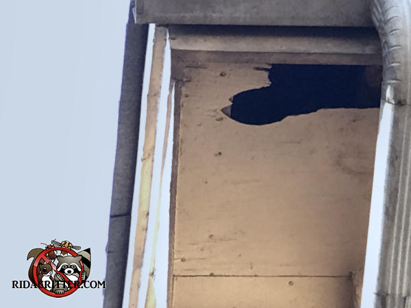 Raccoon tore an oblong hole in the soffit panel above the rain gutter down spout of a house in Atlanta