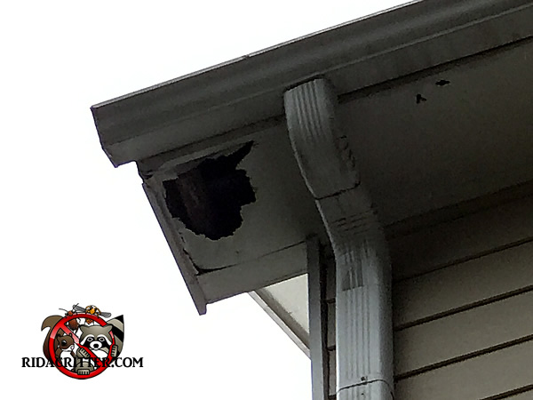 Raccoon Removal And Control In Alpharetta Dunwoody