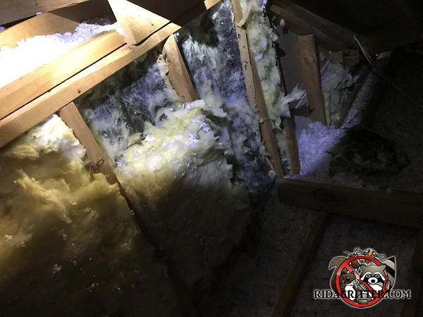 Insulation has been torn down from between the framing studs by raccoons living in the attic of a house in Lithia Springs Georgia.