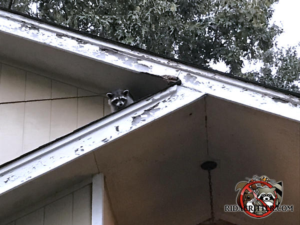 Raccoon on the roof of a house in Chattanooga watching the animal removal technician who had arrived to trap and remove it