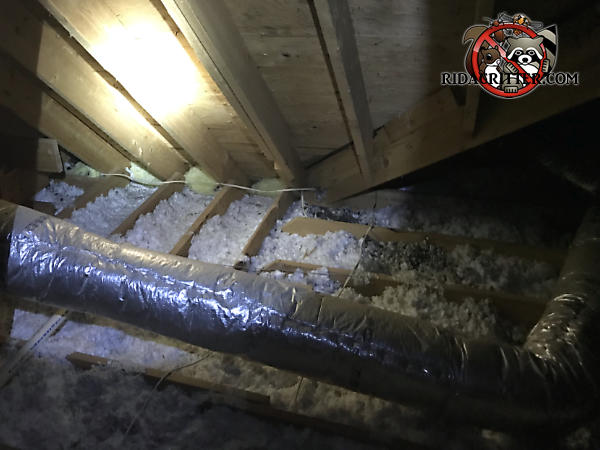 Flattened out insulation and raccoon droppings in the attic of a house in Valdosta Georgia