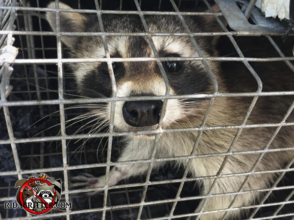 Young raccoon in a cage trap looking at the camera after being removed from an attic in Atlanta