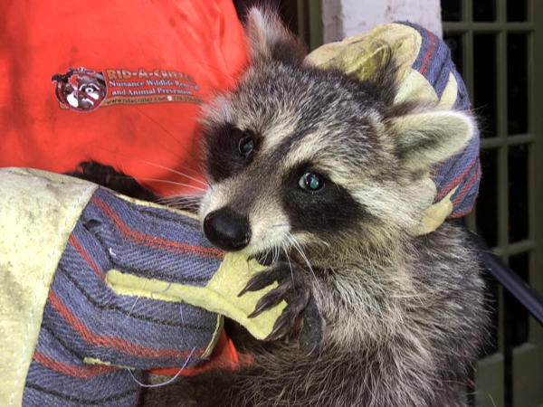 Young raccoon being held in the hands of an animal control technician after being removed from the attic of a house in Atlanta