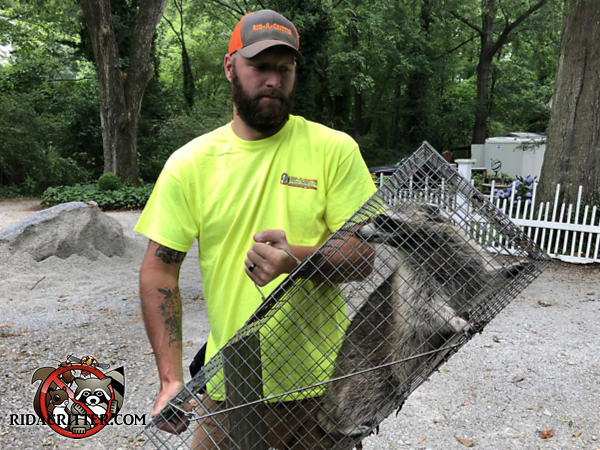 Animal control technician holding a cage type trap in which is an adult raccoon removed from the attic of a house in Douglasville Georgia.