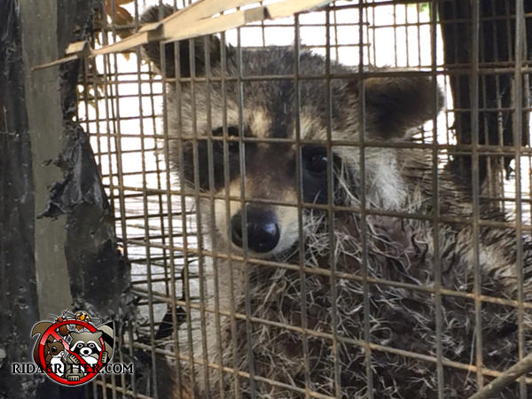 Young adult raccoon in a trap calmly look at the camera after being removed from a house in Hoover