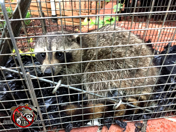 Young adult raccoon in a cage trap after being trapped and removed from the attic of a house in Johns Creek Georgia