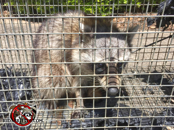 Young raccoon in a cage after being removed from a house in McDonough, Georgia