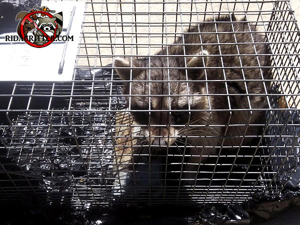 Young adult raccoon in a cage trap after being removed from the attic of a house in Johns Creek Georgia.