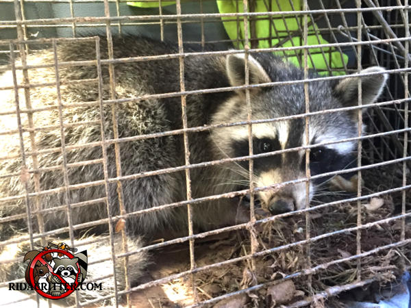 Young raccoon in a cage trap after being removed from a house in Sandy Springs, Georgia