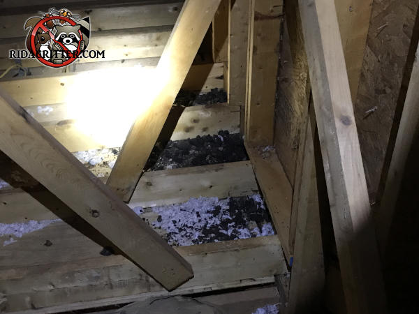 Raccoon scat in the insulation between the joists in the attic of a house in Suwanee, Georgia