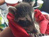 Baby raccoon being held in a technician's hand after being removed from a house in Atlanta